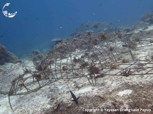 Yaf Keru Reef Restoration Raja Ampat The SEA People, structure at 1 month old